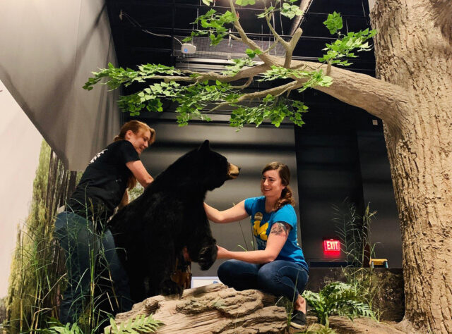 From left, exhibit installers Brittany Norman, Taylor Studios Inc., and Kelsey Wiggins, U-M Museum of Natural History, position a taxidermied black bear in one of the life-size dioramas in the upcoming Exploring Michigan gallery