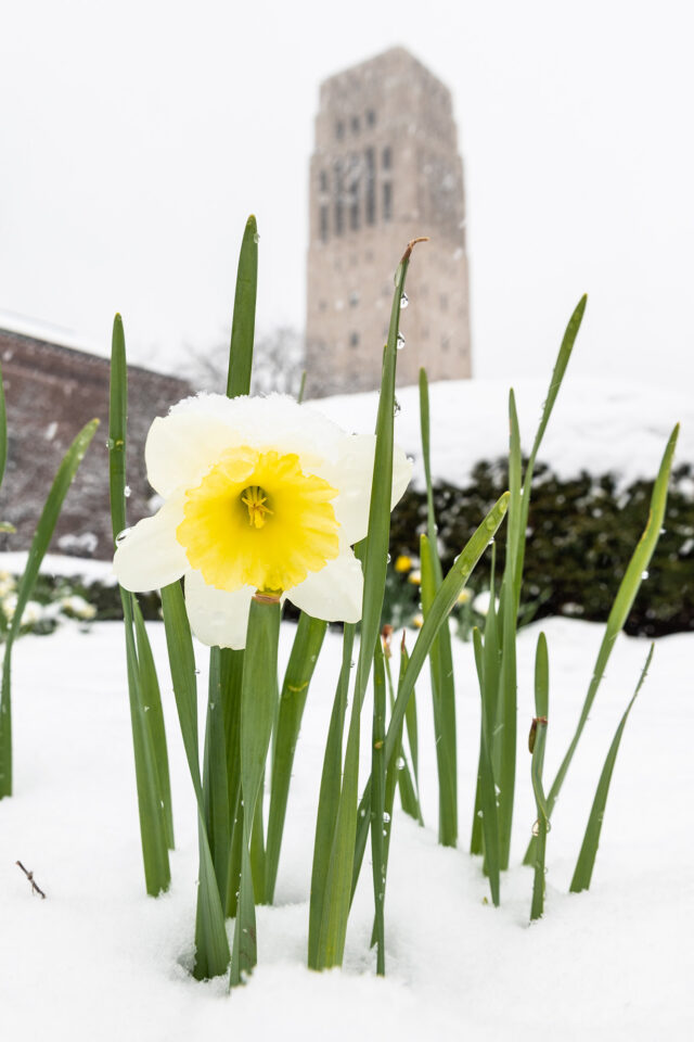 A daffodil blooms with Burton Memorial Tower in the background
