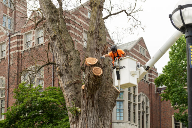 Photo of Charles Merkel, a tree trimmer with Grounds Services, working to remove a dead elm tree.