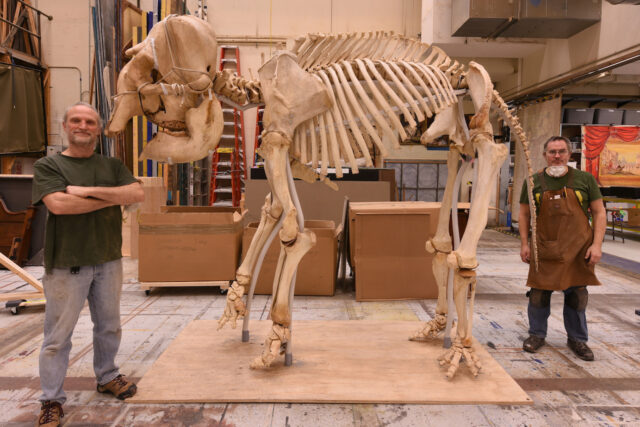 Dan Erickson, right, properties carpenter/artisan in the School of Music, Theatre & Dance, and U-M graduate Brian Cressman pose with the skeleton of Iki, an Asian elephant that has been on display at Wayne State University for decades. (Photo courtesy of Dan Erickson)