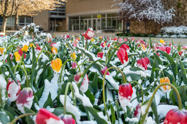 A photo of tulips bowing to the effects of snow