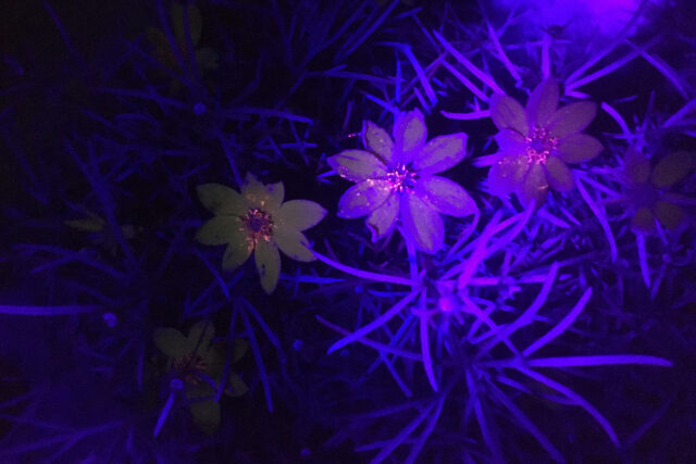 Photo of a threadleaf coreopsis plant photographed under a black light to show ultraviolet-fluorescent pigment.