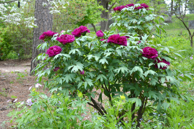 Tree peonies have woody stems and usually bloom two to three weeks before the herbaceous peonies, extending the bloom season of the peony garden significantly. (Photo by Michele Yanga)