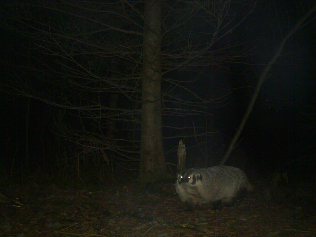 A nighttime photo of a badger at the University of Michigan Biological Station, near Pellston at the northern tip of the Lower Peninsula. Though badgers are mustelids, their striking facial pattern and distinctive body shape helped volunteers distinguish them from other members of the family. Photo credit: University of Michigan Applied Wildlife Ecology Lab.