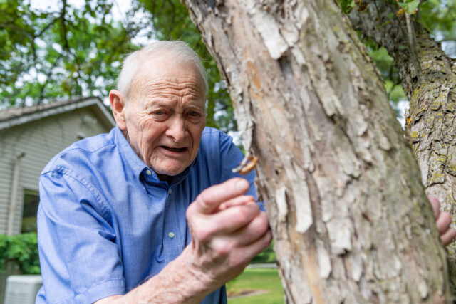 U-M entomologist and professor emeritus Thomas Moore examines a papery brown shell left behind after a juvenile periodical cicada shed its exoskeleton and emerged as an adult. (Daryl Marshke, Michigan Photography)