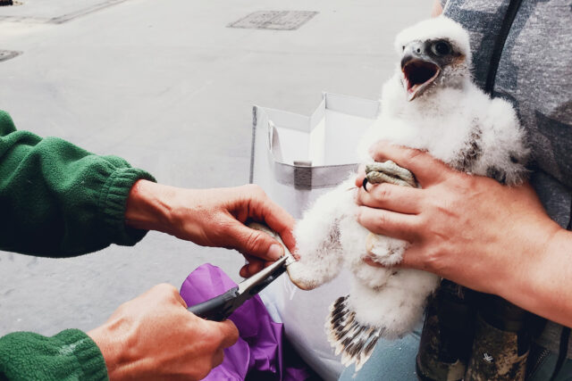 A tracking band is placed on the female peregrine falcon chick that recently hatched in a nesting box on the roof of North Quad.